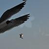 Seagulls 5-13-2010 035