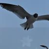 Seagulls 5-13-2010 020