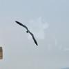 Seagulls 5-13-2010 064