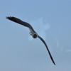 Seagulls 5-13-2010 055
