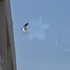 Seagulls 5-13-2010 062