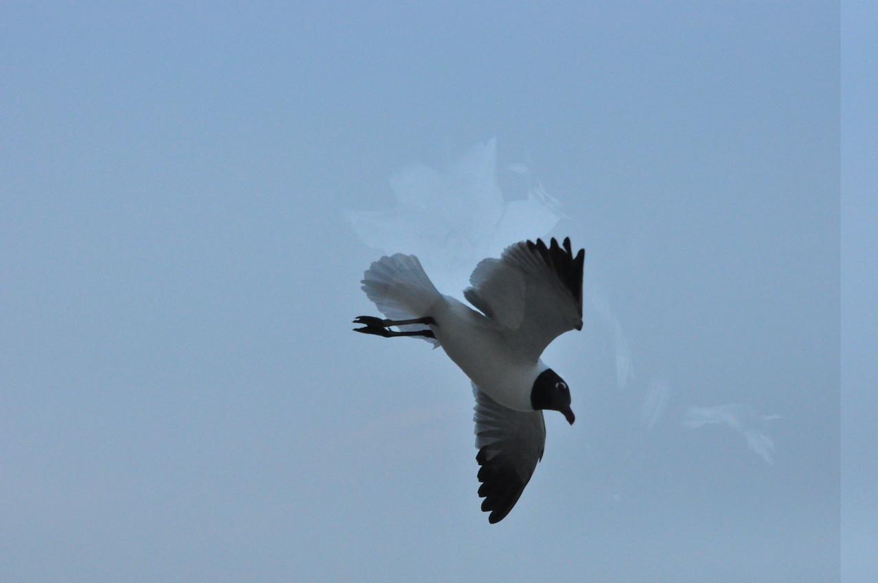 Seagulls 5-13-2010 056