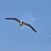Seagulls 5-13-2010 052