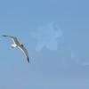 Seagulls 5-13-2010 058