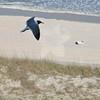 Seagulls 5-13-2010 076