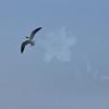 Seagulls 5-13-2010 060