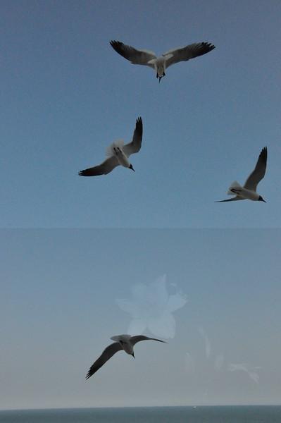 Seagulls 5-13-2010 044
