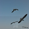Seagulls 5-13-2010 045