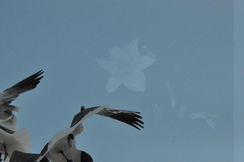 Seagulls 5-13-2010 030