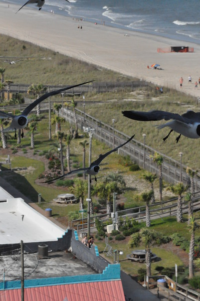 Seagulls 5-13-2010 018