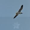 Seagulls 5-13-2010 047