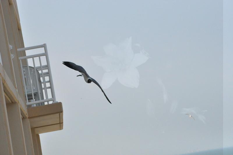 Seagulls 5-13-2010 065