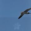 Seagulls 5-13-2010 024