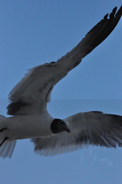 5-13-2010 Seagulls
