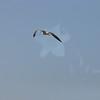 Seagulls 5-13-2010 072