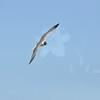 Seagulls 5-13-2010 069