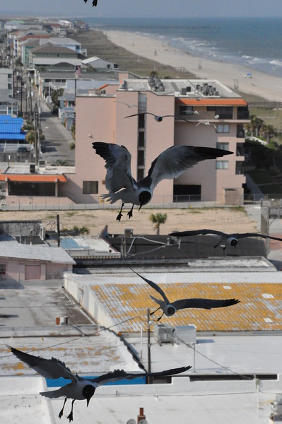Seagulls 5-13-2010 015
