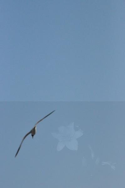 Seagulls 5-13-2010 026