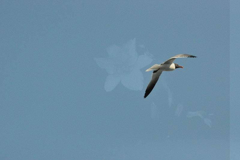Seagulls 5-13-2010 029