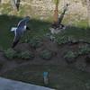 Seagulls 5-13-2010 075