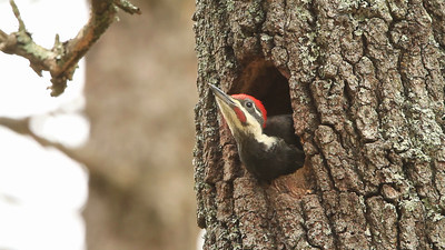 Pileated woodpecker being fed at nest cavity