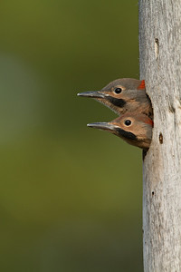 Northern Flicker nestling pair