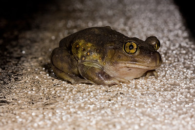Eastern spadefoot toad on white line of road.