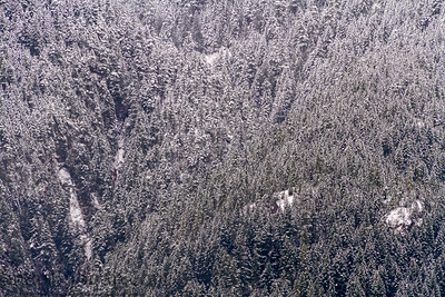 A pine forest on the side of a mountain with fog