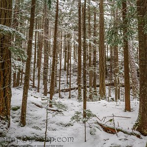 A pine forest covered in the fresh snow of winter