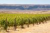 Vineyard - Ancient Lakes 135