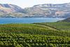 Vineyard - Lake Chelan 105