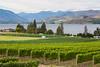 Vineyard - Lake Chelan 119
