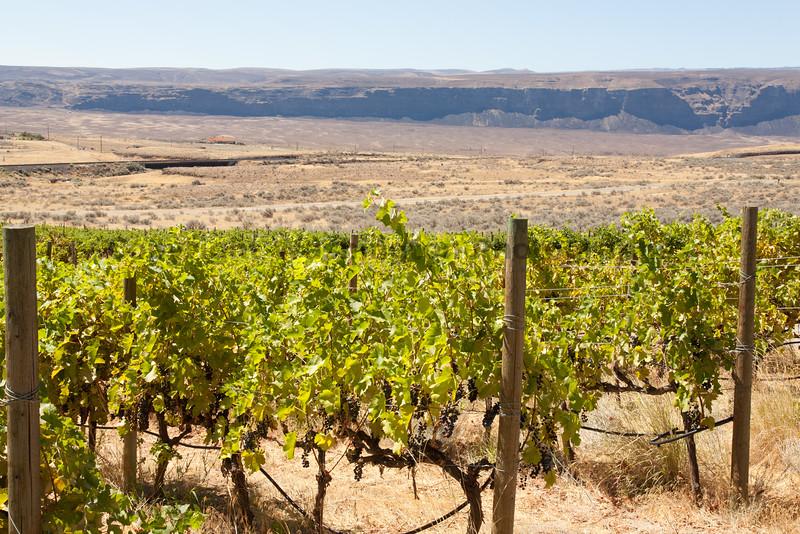 Vineyard - Ancient Lakes 133