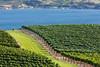 Vineyard - Lake Chelan 113