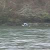 Heron over Skagit River