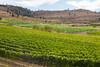 Vineyard - Lake Chelan 121