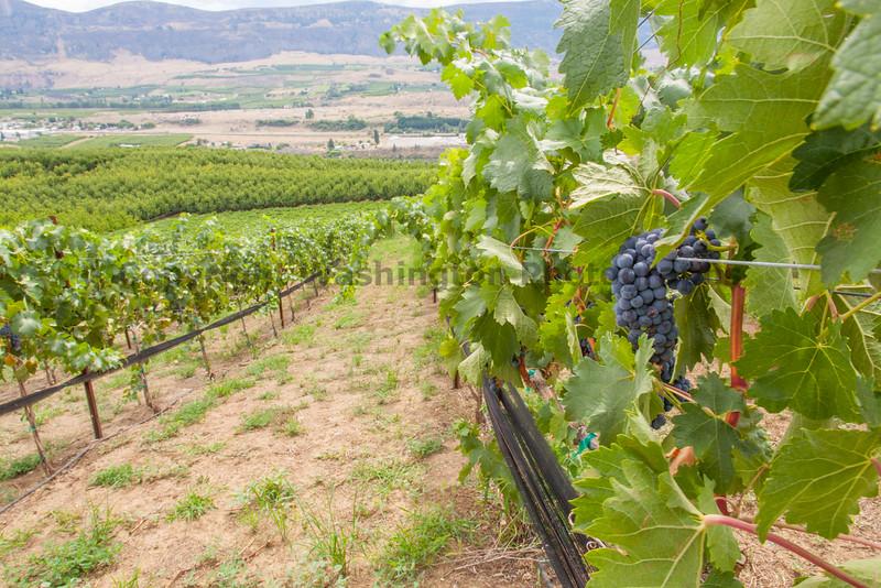 Vineyard - Columbia Valley 125