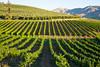 Vineyard - Lake Chelan 102