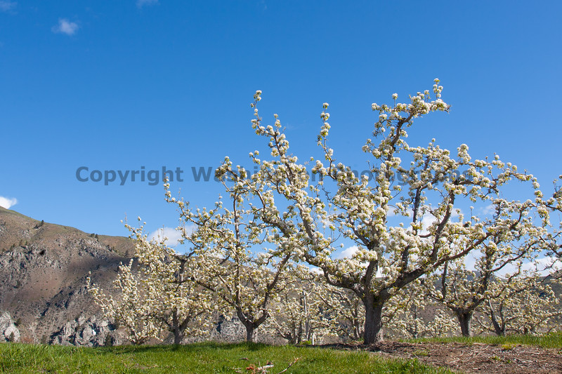 Apple Orchards 160