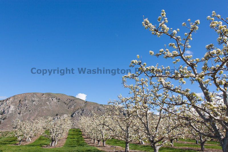 Apple Orchards 157