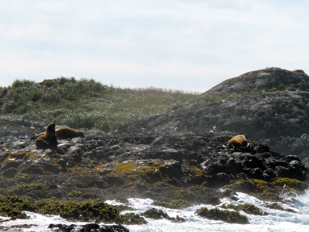 """Sea lions For the story, check out my post: <a href=""""http://www.nomadbiba.com/wp/2011/10/whale-watching-in-tofino/""""> Whale Watching in Tofino</a>"""