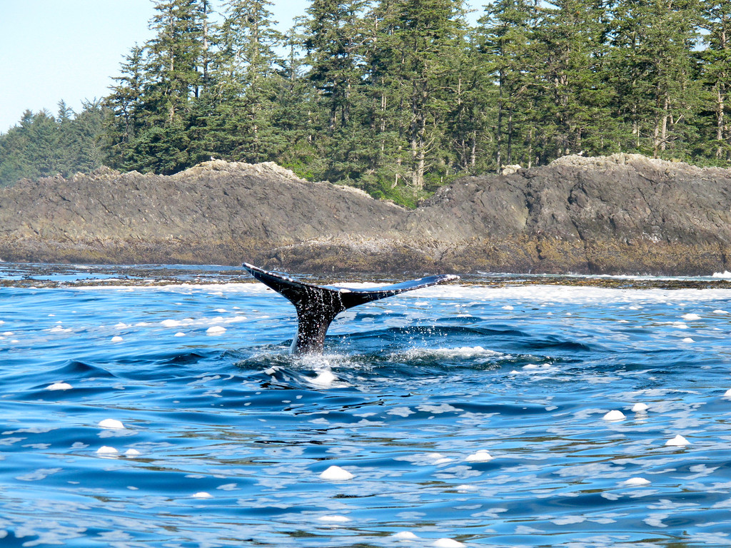 """Whale saying hello For the story, check out my post: <a href=""""http://www.nomadbiba.com/wp/2011/10/whale-watching-in-tofino/""""> Whale Watching in Tofino</a>"""