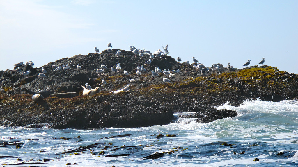 """Birds & sea lions  For the story, check out my post: <a href=""""http://www.nomadbiba.com/wp/2011/10/whale-watching-in-tofino/""""> Whale Watching in Tofino</a>"""