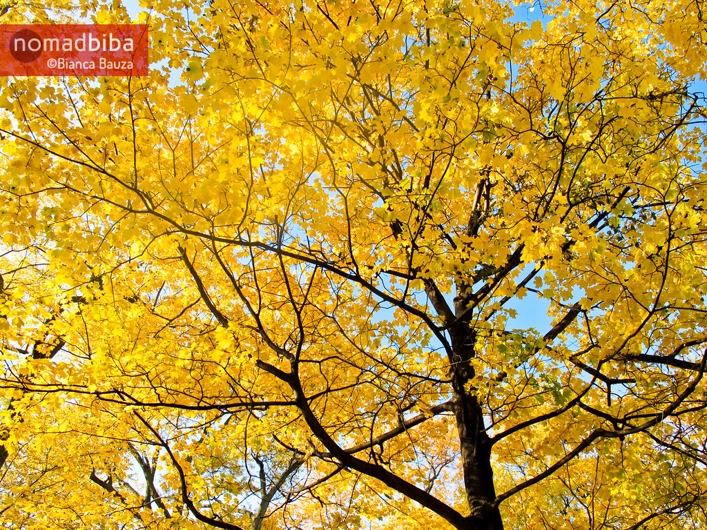 Yellow fall leaves in Montreal QC, Canada