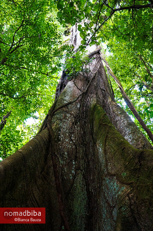 Ceiba tree near La Fortuna, Costa Rica
