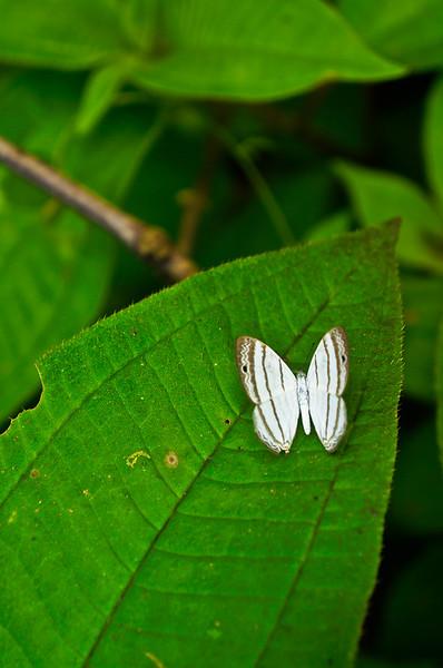 White butterfly in La Fortuna, Costa Rica