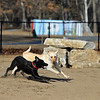 Having fun at the new Fitchburg Dog Park is Jessie James a Lab mix with Roosa a labernese, black dog. SENTINEL & ENTERPRISE/JOHN LOVE