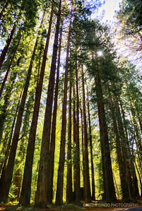 Redwoods Grove