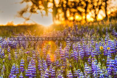 wildflowers oak tree 1119-