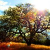 santa-margarita-oak-tree_6118